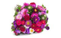 33 Sommerastern mit über 100 Blüten