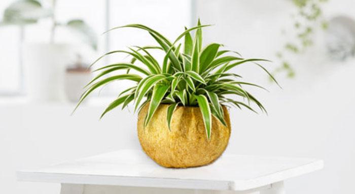 Wasserlilie in der Kokosnuss
