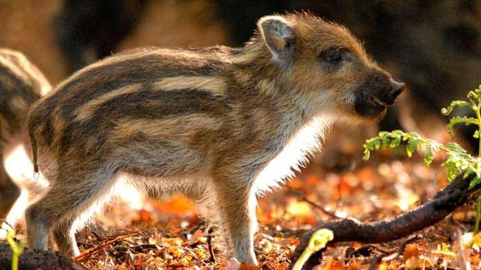 """Wildschwein """"Das grüne Wunder - Unser Wald"""""""
