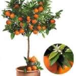 3x Zitrusbäume (Orange, Zitrone & Mandarine) 80 – 100 cm für 60,94€ inkl. Versand