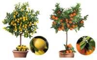 Zitrusbäume online bestellen