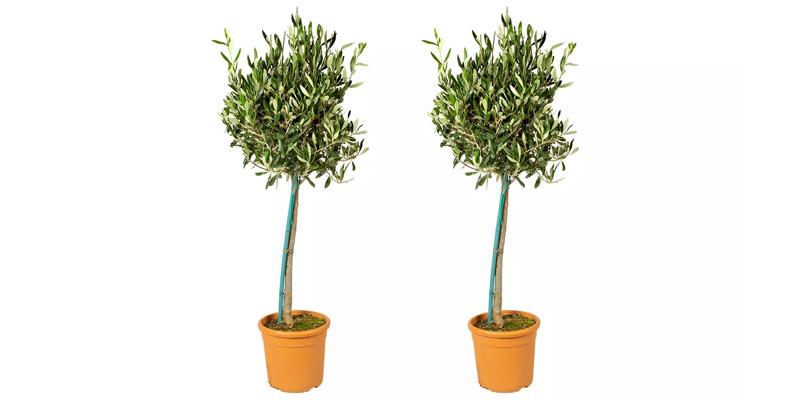 Olivenbäume XL