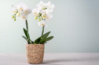 Orchidee in Weiß mit Korb