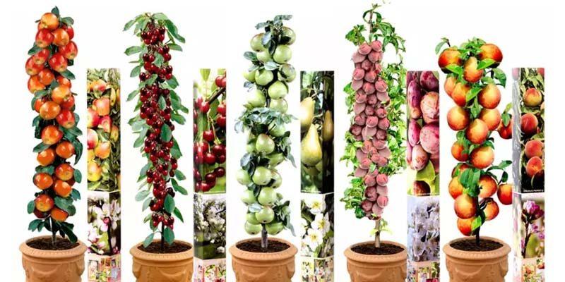 5er Set Obstbäume (Apfel, Birne, Pfirsich, Pflaume, Sauerkirsche) für 29,08€
