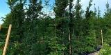 Rastatt verschenkt pro Haushalt einen Baum (insg. 1.000 Klimabäume)
