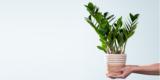 Pflanzen Schnäppchen: Zamioculcas mit Korb (Höhe: 45 cm) für 10€