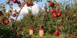 Gratis Apfelbaum für junge Familien über die Sparkasse Hannover