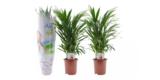 2x Areca Palmen / Goldfruchtpalmen (Höhe: 60 – 75 cm) für 23,68€ inkl. Versand