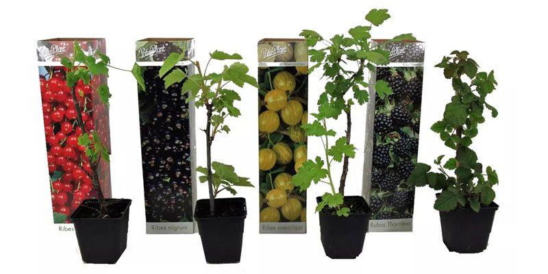 4er-Set Beerenpflanzen (Brombeere, Stachelbeere, Rote & Schwarze Johannisbeere) für 21,58€