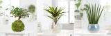 Blume2000 Sale: z.B. Wasserpflanze Kiwi in Glasvase für 19,94€