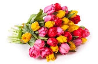 50 bunte Tulpen für nur 30,98€ bei BlumeIdeal bestellen