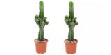 Dreikantige Wolfsmilch (Kaktus) für 25,40€ bei Groupon