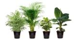 4x exotische Zimmerpflanzen (Banane, Kaffeebaum, Goldfruchtpalme, Zwergpalme) für 22,98€