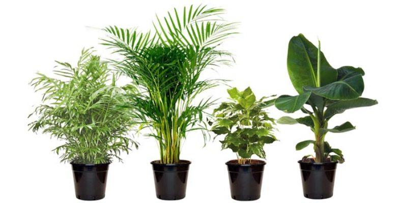 4x exotische Zimmerpflanzen (Banane, Kaffeebaum, Goldfruchtpalme, Zwergpalme) für 20,98€