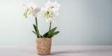 Orchidee in Weiß mit Korb für 10€ inkl. Versand bei Blume2000