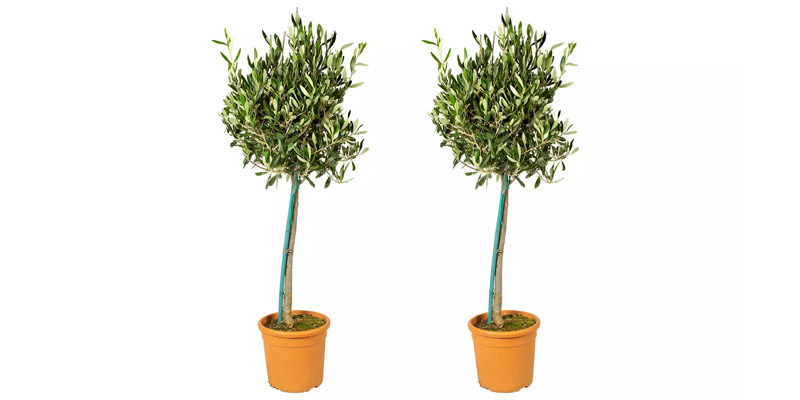 2x Olivenbäume XL (Höhe: 80 – 100 cm) für 38,08€ inkl. Versand bei Groupon